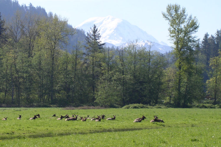 Elk South of Enumclaw